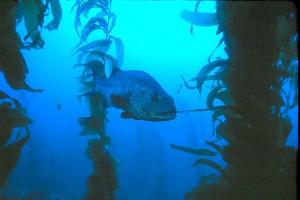 Giant Black Seabass